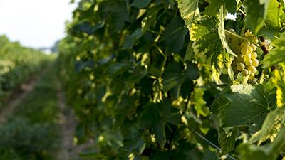 Small Talk Vinyards Grapes