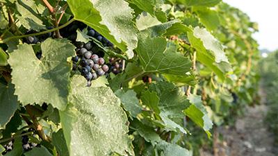 Small Talk Vinyard Grapes