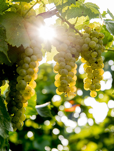 Closeup of sun beaming through grapes on the vine